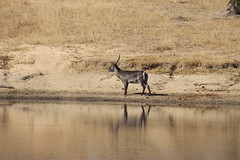 Waterbuck at the River Bank (Rckr88) Tags: krugernationalpark southafrica kruger national park south africa waterbuck river bank waterbuckattheriverbank rivers riverbank animals animal antelope reflection reflections nature naturalworld outdoors