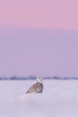 ''La vie en rose!'' harfang des neiges-Snowy owl (pascaleforest) Tags: oiseau bird animal owl snow neige ciel sky rose pink hiver winter québec canada wild widlife faune passion nikon