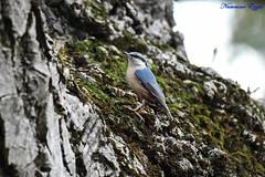 Sittelle torchepot (Ezzo33) Tags: sittelletorchepot sittaeuropaea eurasiannuthatch france gironde nouvelleaquitaine bordeaux ezzo33 nammour ezzat nikon d500 parc jardin oiseau oiseaux bird birds