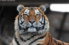 Siberian tiger - Pairi Daiza (Mandenno photography) Tags: animal animals dierenpark dierentuin dieren zoo tiger tigers tijger tijgers bigcat big cat cats ngc nature natgeo natgeographic discovery bbcearth bbc pairi daiza pairidaiza