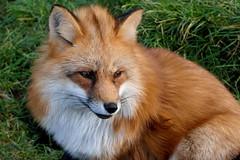 Der Fuchs - The Fox (ivlys) Tags: dänemark denmark blåvand zoo fuchs fox tier animal natur nature ivlys