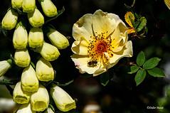 Digitale, rose et abeille (didier95) Tags: digitale rose abeille fleur insecte jaune boisdesmoutiers varengevillesurmer