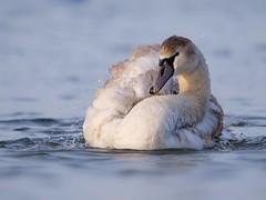 Swan (PhotoLoonie) Tags: muteswan swan bird waterbird wildlife nature attenboroughnaturereserve feathers preening water