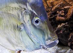 Inoxydable (François Tomasi) Tags: fish poisson animal françoistomasi justedutalent aquarium larochelle yahoo google flickr 2020