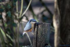 Sittelle torchepot (Ezzo33) Tags: sittelletorchepot sittaeuropaea eurasiannuthatch france gironde nouvelleaquitaine bordeaux ezzo33 nammour ezzat sony rx10m3 parc jardin oiseau oiseaux bird birds