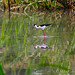 Black-necked Stilt in Creekfield Lake