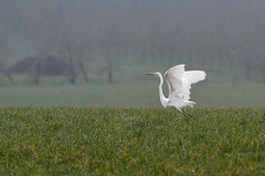 Grande aigrette (eric.courant) Tags: oiseau oiseaux birds bird photo animalière mayenne d850 nikon 200 500
