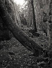 The gorge (Geir Bakken) Tags: backlit backlight gorge tjøme vestfold norway film filmisnotdead filmphotography filmcamera filmisalive filminotdead fujicags645 fomapan fomadon lqn analog analogphotography landscape perfectbeauty tree blackandwhite bw