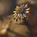 Withered Aster