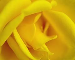 Hello yellow (L@nce (ランス)) Tags: rose flower yellow macro micro nikon nikkor 60mmf28micronikkoraf