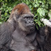 gorilla - Monkey Jungle -  Homestead Florida