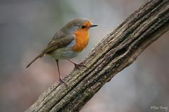 Robin at Yarner Wood. Image 2. (ronalddavey80) Tags: canon eos70d robin bird wildlife nature yarnerwood songbird ef100400lii