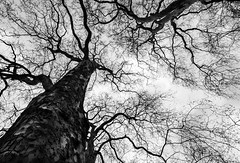"""When the Music Fades and All is Stripped Away (""""The Wanderer's Eye Photography"""") Tags: 2time 2019 bw bangalore canoneos450d canoneosdslr canoneosrebelxsi digitalphotography india london photography rubenalexander susanalexander thewandererseyephotography year abstract bare blackwhite bleak branches monochrome trees trunk whenthemusicfadesandallisstrippedaway winter"""