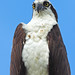 Osprey - Pandion haliaetus, Everglades National Park, Homestead, Florida
