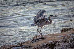 Heron on the river (Pejasar) Tags: heron crane bird wings arkansasriver oklahoma