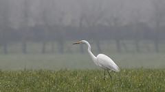 Grande aigrette (eric.courant) Tags: aigrette oiseau oiseaux birds bird mayenne photo animalière d850 nikon 200 500 grande
