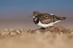 Turnstone (neil smith2010) Tags: turnstone winter plumage wader wading bird shorebird titchwell rspb norfolk