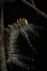 Caterpillar (Saturniidae) (pbertner) Tags: amazon flp madrededios peru rainforest southamerica diurnal fincalaspiedras puertomaldonado tropicalmoistforest understory caterpillar saturniidae