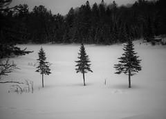 Only the winds (Mister Blur) Tags: winter invierno lhiver snow pines trees oméga parc montebello parque québec canada nieve blackandwhite blancoynegro noireetblanc bw monochrome monocromo onlythewinds wind ólafurarnalds nikon d7100 55200mm nikkor lens f42 snapseed rubén rodrigo fotografía nature photography bestcapturesaoi elitegalleryaoi aoi