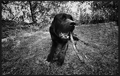 Simple enjoyments (Buck777) Tags: blackandwhite z7 nikon content happy stick black labrador pet lab dog