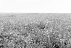 20190901_hp5_f5_11 (onebellboy) Tags: onebellboy wholerollproject wwwellsworthbellcom pentax me 50mm f17 ilford hp5 diafine kodafix nikonsupercoolscan4000 nosehill park calgary alberta monochrome outdoors landscape rain drizzle grey