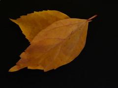 Anglų lietuvių žodynas. Žodis brownish yellow reiškia rusvai geltona lietuviškai.