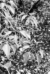 20190901_hp5_f5_19 (onebellboy) Tags: onebellboy wholerollproject wwwellsworthbellcom pentax me 50mm f17 ilford hp5 diafine kodafix nikonsupercoolscan4000 nosehill park calgary alberta monochrome outdoors landscape rain drizzle grey