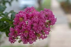 Street pink (OzzRod) Tags: pentax k1 zenitarm50mmf17 зенитарм plant tree flowers street footpath bokeh dailyinjanuary2020