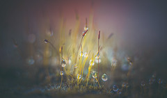 Moss dewdrops (Dhina A) Tags: sony a7rii ilce7rm2 a7r2 a7r kaleinar mc 100mm f28 kaleinar100mmf28 5n m42 nikonf russian ussr soviet 6blades manualfocus bokeh lens moss dewdrops droplets water