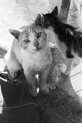 f80_119_23 (Ghostwriter D.) Tags: kreta crete 2018 nikonf80 blackandwhite blackwhite analog film greece agiosioannis cats