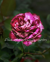Red Ruby Rose (Dad of Patricia photos) Tags: red rose flower plant valentines 2020 mixed color hue