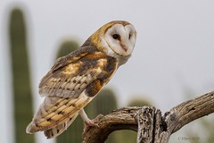 IMG_3868 barn owl (starc283) Tags: starc283 bird birding birds flickr flicker nature naturesfinest naturewatcher owl raptor barnowl