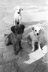 f80_119_22 (Ghostwriter D.) Tags: kreta crete 2018 nikonf80 blackandwhite blackwhite analog film greece agiosioannis dogs