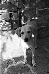 f80_119_20 (Ghostwriter D.) Tags: kreta crete 2018 nikonf80 blackandwhite blackwhite analog film greece agiosioannis dog