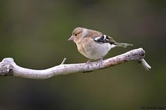 Fringuello _012 (Rolando CRINITI) Tags: fringuello uccelli uccello birds ornitologia avifauna montebaldo natura