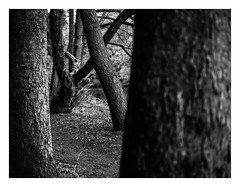 FILM - Can't see the wood for the trees (fishyfish_arcade) Tags: analogphotography bw blackwhite blackandwhite bronicaetrsi istillshootfilm landscape monochrome panfplus peakdistrict zenzanon75mmf28pe analogcamera filmisnotdead ilford mediumformat mono trees