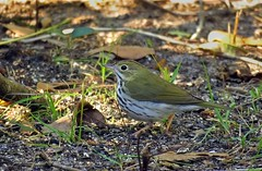 Ovenbird (Gary Helm) Tags: bird birds ovenbird fly flight feathers wildlife nature outside outdoor animal ghelm4747 garyhelm backyard florida polkcounty image photograph leaves ground warbler floridawildlife usa northamerica lakewales lookingoutmybackdoor green