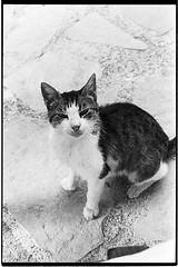 f80_119_21 (Ghostwriter D.) Tags: kreta crete 2018 nikonf80 blackandwhite blackwhite analog film greece agiosioannis cat