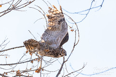 Great horned owl takes flight - 3 of 5
