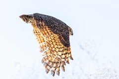 Great horned owl takes flight - 5 of 5