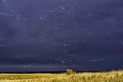 Wild Geese (J K German) Tags: wild geese oklahoma flock birds nature huge sandhills flight white snow canadians clouds darksky