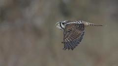 Northern Hawk Owl 1444 (Paul McGoveran) Tags: bif bird birdinflight nature nikon500mmf4 nikond500 nikond850 northernhawkowl ontario schomberg wings
