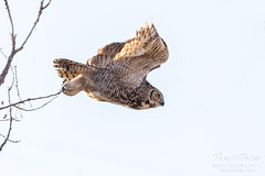 Great horned owl takes flight - 4 of 5