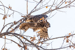 Great horned owl takes flight - 2 of 5