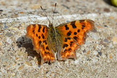 Polygonia c-album (suekelly52) Tags: nymphalidae comma commabutterfly insect butterfly stone polygoniacalbum
