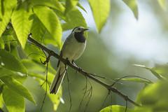 Birdie (Apercoat) Tags: bird cockpit leaf leaves green bright summer tree branch