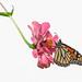 Monarch on hanging zinnia
