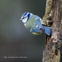Mésange bleue (faerlynn) Tags: douceur quiétude paix beauté cyanistes caeruleus mésange oiseau oiseaux avifaune nature bleue naturaliste zoologie ornithologie ornithology blue tit