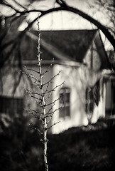 Yucca Stalk and House (Robert_Brown [bracketed]) Tags: tamioka sears 55mm f14 vintage bokeh robertbrown thesilvercityphotographer photo house framing blackandwhite bw architecture yucca stalk dead barren winter moody