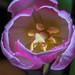 Top Tulip